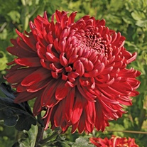 Chrysanthemum 'Cranbrae Red' (Early)