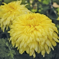 Chrysanthemum 'New Stylist'