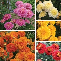 Chrysanthemum Outdoor Spray Flower Plant Collection-Pennine