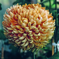 Chrysanthemum 'Lizzie Dear'