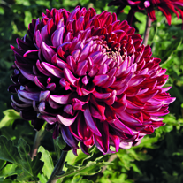Chrysanthemum 'Barnardo's Hope'