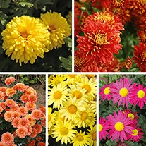 Garden Hardy Mums Collection