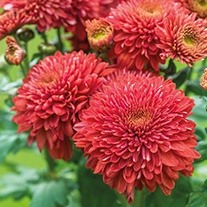 Chrysanthemum Gompie Red