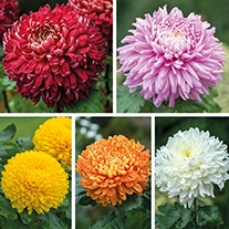 Chrysanthemum Outdoor Bloom Flower Plant Collection