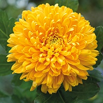 Chrysanthemum 'Astro'