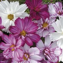Cosmos Razzmatazz Mixed Flower Plants