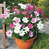 Cosmos Sonata Mixed Flower Plants