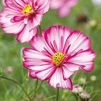 Cosmos Razzmatazz Violet Picotee Flower Plants