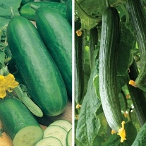 Cucumber (Grafted) Collection Pack
