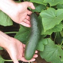 Cucumber Lili F1 Veg Plants (outdoor)
