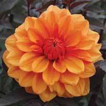 Dahlia David Howard Flower Bulbs