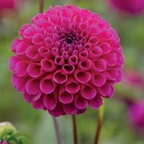 Dahlia 'Addison June'