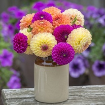 The Summer Sorbet Dahlia Double Collection