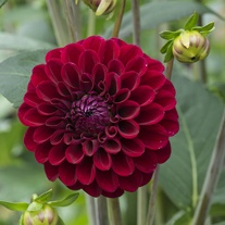 Dahlia Maroon Fox Flower Bulbs