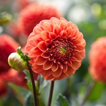 Dahlia Zundert Mystery Fox Flower Bulbs