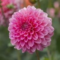 Dahlia Pink Runner