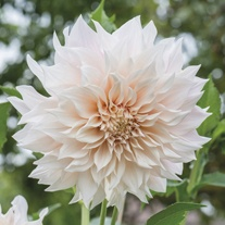 Dahlia Café au Lait Flower Bulbs