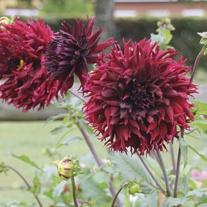 Dahlia Kenora Macop-B Flower Bulbs