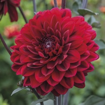 Dahlia Chocolate Flower Bulbs