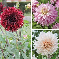 Dahlia Dinner Plate Flower Bulb Collection