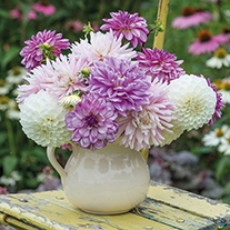 The Blushing Cloud Dahlia Collection