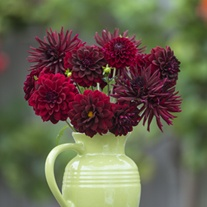 The Velvet Night Dahlia Collection
