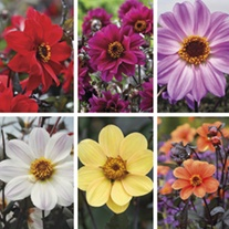 Dahlia Bishop Collection