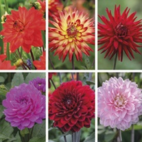 Dahlia Karma Collection
