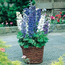 Delphinium Magic Fountains Mixed Flower Plants