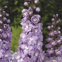 Delphinium Centurion Lavender Flower Plants