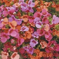 Diascia Diamonte Mixed F1 Flower Plants