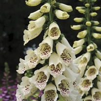 Foxglove Dalmatian Cream Flower Plants