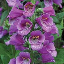 Digitalis Dalmatian Purple
