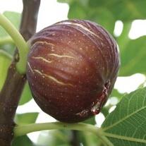 Fig Madeleine
