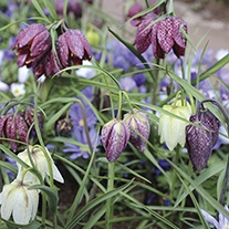 Snakeshead Fritillary Collection