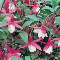 Fuchsia Alice Hoffman (Hardy) Flower Plants