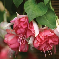 Fuchsia Peachy (Trailing ) Flower Plants