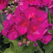 Geranium Zonal Designer Violet Flower Plants