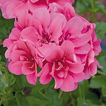 Geranium Precision Rose (Trailing) Flower Plants