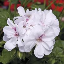 Geranium Precision Blanche Roche (Trailing) Flower Plants