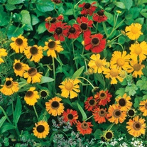 Helenium autumnale Red Gold Seeds