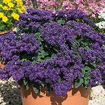Heliotropium arborescens 'Marino Blue'