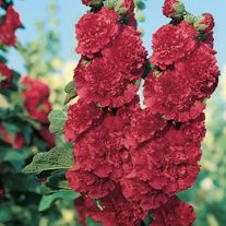 Hollyhock Chater's Scarlet
