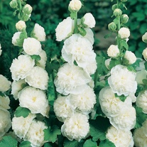 Hollyhock Chater's White
