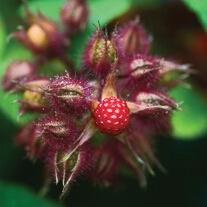Japanese Wineberry Fruit Plant