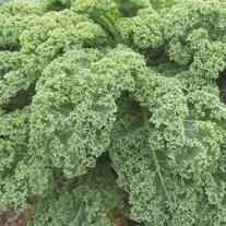 Kale Reflex F1 Plants