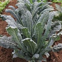 Kale Nero Di Toscana Veg Plants