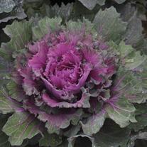 Buttonhole® Kale Starmaker Seeds