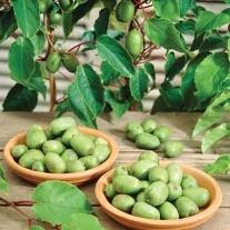 Kiwi arguta Issai Fruit Plant (self fertile)
