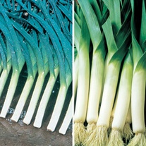 Leek (Spring Planting) Plant Collection